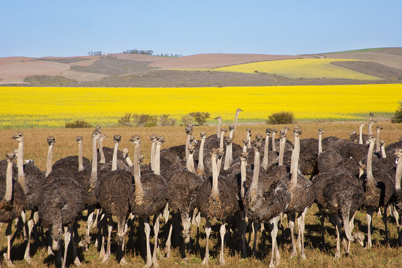 Image result for Trang trại Đà điểu Ostrich Ranch,